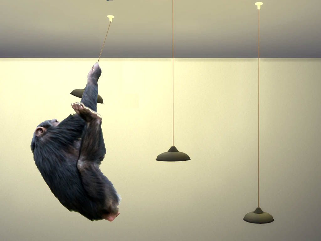 Image of a swinging chimp